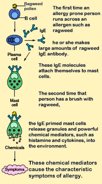 How allergic reactions occur