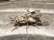 Chrysops fly