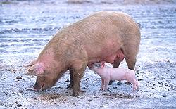 Pig problems?