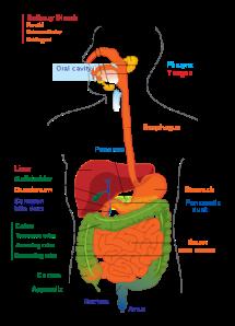 Gastro-intestinal tract